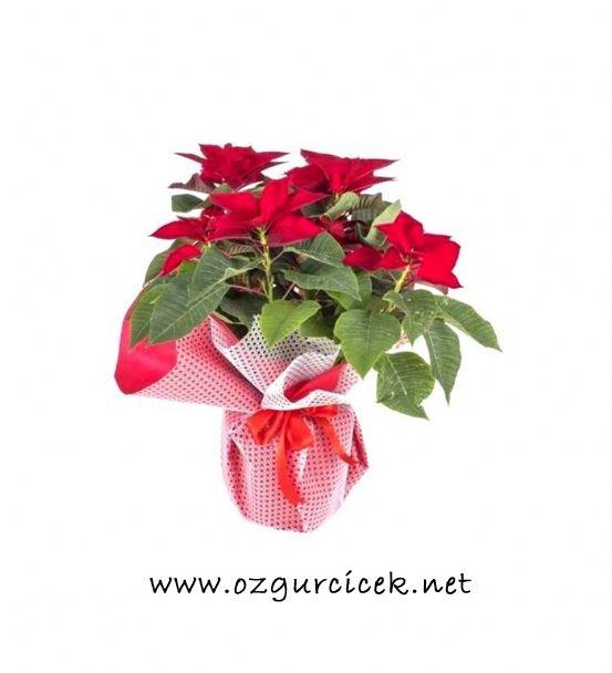Puansetya (Atatürk Çiçeği)